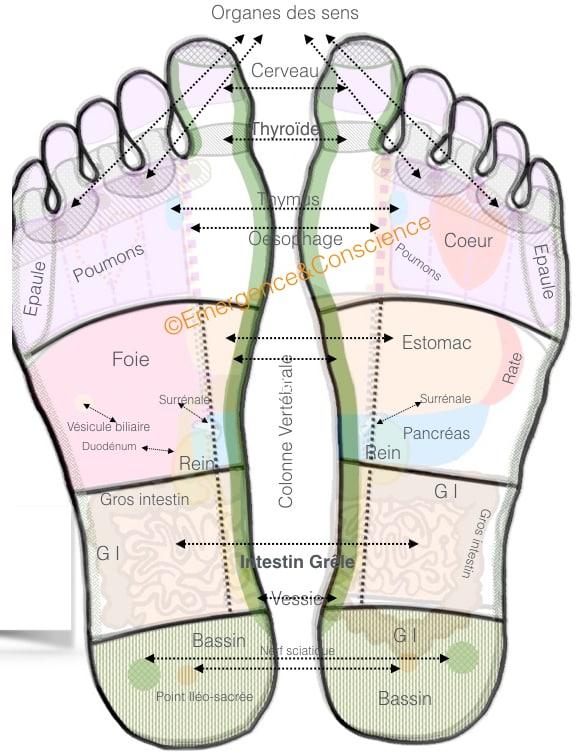 cartographie plantaire des zones réflexes des organes
